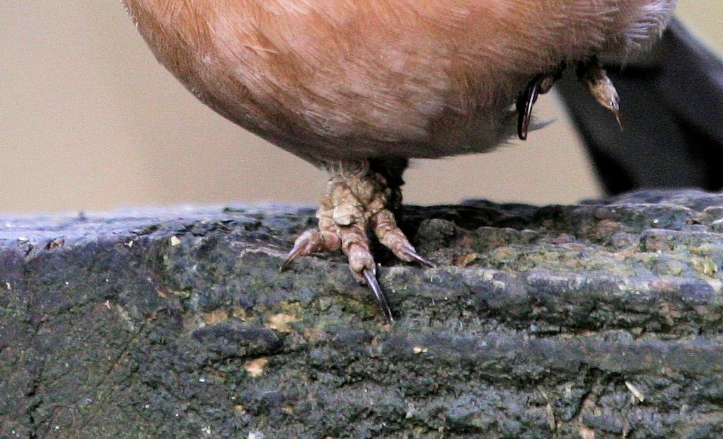 fringilla papillomavirus bird