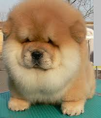 Image result for Chao Chao dog