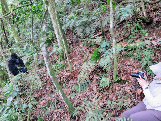 Taking pictures of the Nkuringo family of mountain gorillas in Western Uganda