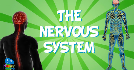 How the Nervous System Works and Affects Everything in the Body