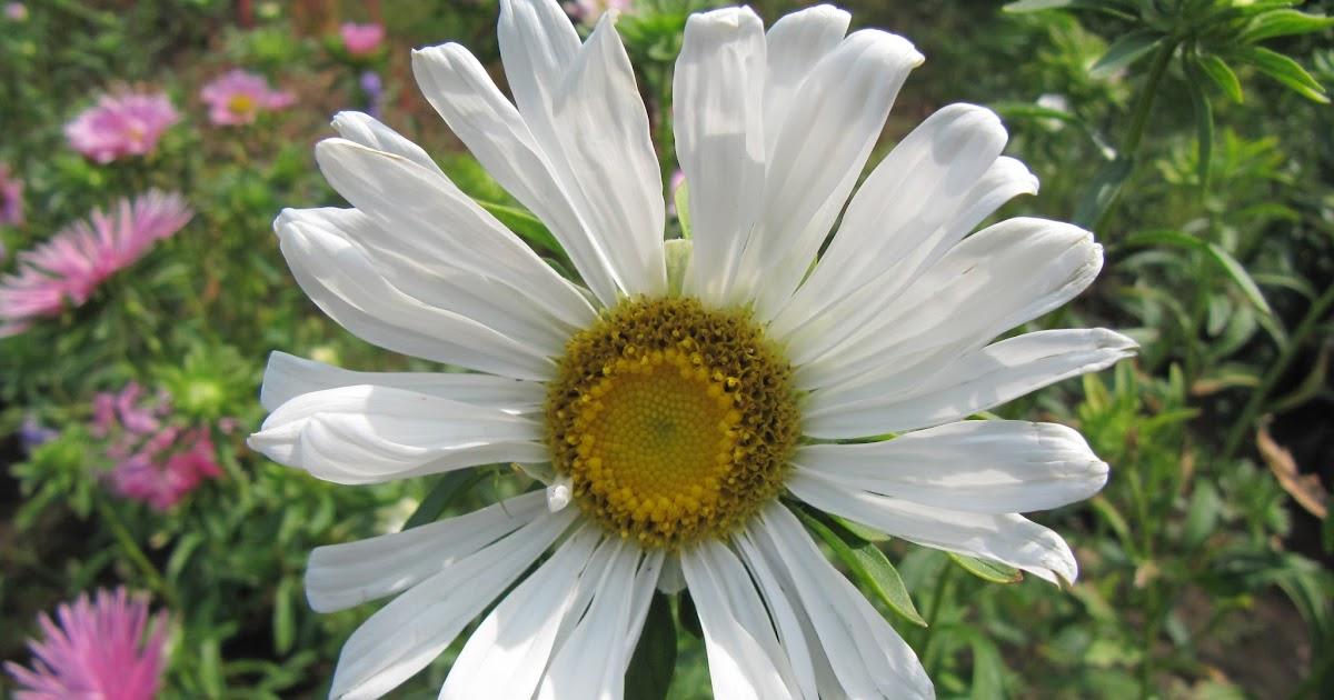 Randevú daisy nr 1