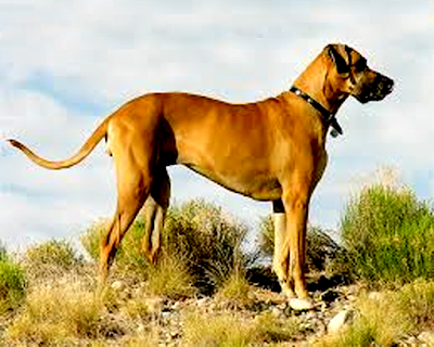 What Kind of Dog is Scooby Doo | Scooby Doo Dog Breed
