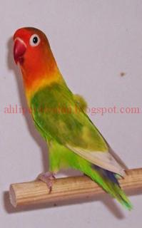 Ciri-ciri Burung Lovebird Pastel Kuning