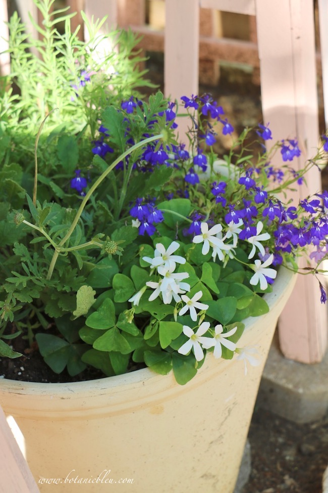 Oxalis, lobelia, scabiosa, and Spanish lavender in Clay Pots