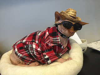 Disco NoFurNo the Sphynx Cat in plaid shirt and straw cowboy hat