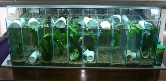 Betta Fish Tanks - Bentuk Akuarium Ikan Cupang Indah ...