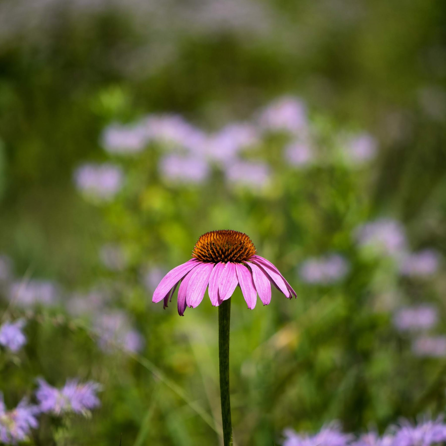 Purple Coneflower with Bokeh Background