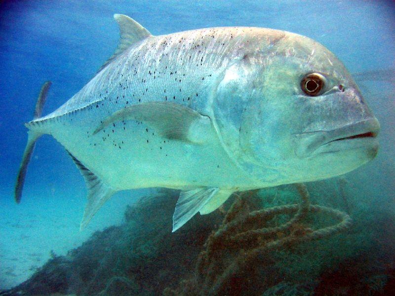 Gambar Ikan Laut Kuwe