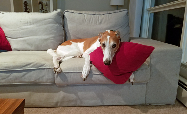 image of Dudley the Greyhound lying on the couch with a pillow tucked under his chin, looking at me