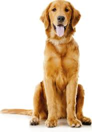 Anjing Ras Golden Retriever