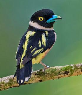Burung sempur hujan darat atau yang dikenal Black-and-yellow Broadbill (Eurylaimus ochromalus) dalam istilah penyebutan internasional perburungannya ini merupakan salah satu burung jenis Sempur Hujan atau Broadbill