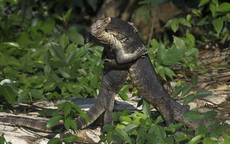 Spotted monitor lizard fighting at Pasir Ris Park this morning.