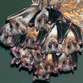 Murciélagos pequeños de cabeza