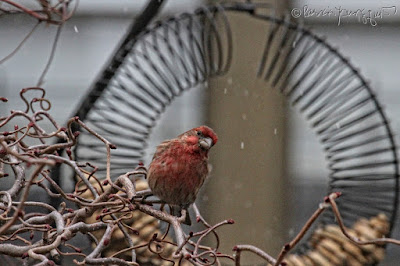 """The focus of this photo is a male House finch who is perched on the left side of a bird feeder which is made of coils and shaped like a wreath and has the function of """"holding"""" peanuts within a shell. He appears to be looking into the camera. This """"scene"""" occurred on a snowy day (but it is only falling lightly) in my garden, which is the setting for my book series, """"Words In Our Beak."""" Info re these books is included in another post within this blog @ https://www.thelastleafgardener.com/2018/10/one-sheet-book-series-info.html"""