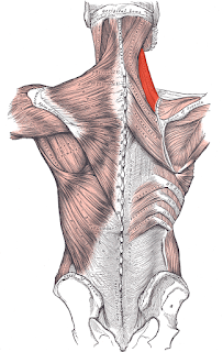 levator scapula muscle, action, muscle picture