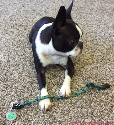 Boston terrier and her dog collar