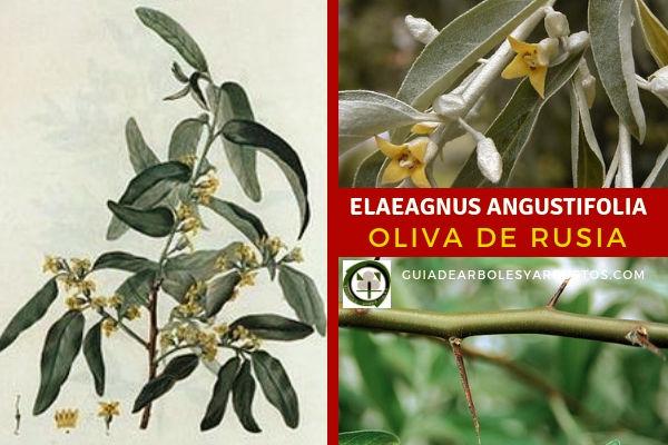 Elaeagnus angustifolia, Oliva de Rusia utilizado en fijar nitrógeno