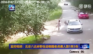 The woman went to rescue her daughter who had got out a car to remonstrate with her partner as they passed through the Siberian tiger enclosure at Badaling Wildlife Park in China  Shocking footage has emerged of the moment a woman was mauled by a tiger and another dragged to her death during a family row at a safari park.