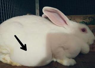 Tanda Kelinci Hamil dan ciri ciri kelinci hamil