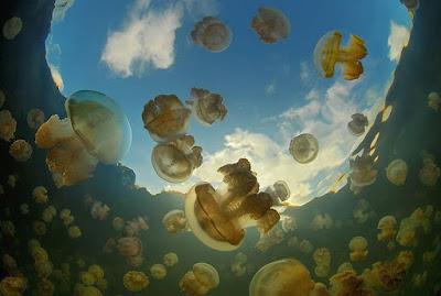 Danau Ubur-Ubur, Palau, danau paling terkenal sebagai salah satu situs menyelam terbaik di dunia.