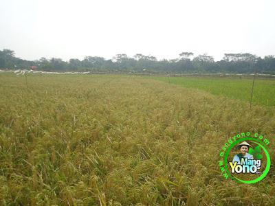 Padi NAZWA 80 HST di Sawah Cibandung, Pagaden Barat