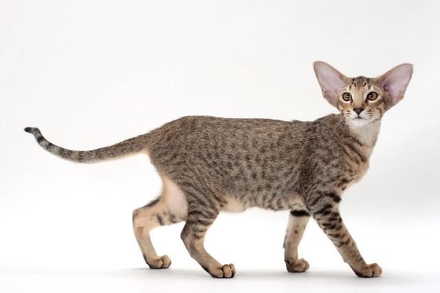 oriental - Four Cаnаdіаn Cat Brееdѕ All Cat Lovers Should Knоw