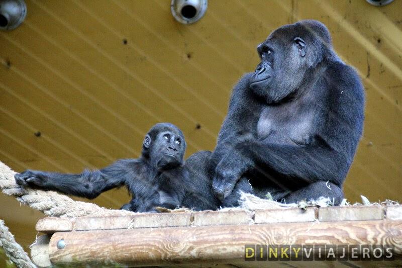 Parque de la Naturaleza de Cabárceno. Gorilas