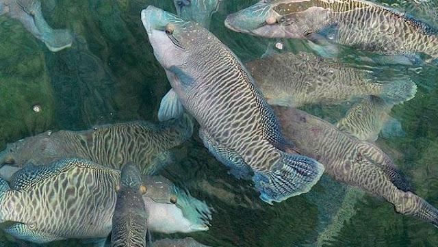 Cara mengenali Ikan Napoleon yang telah Dewasa
