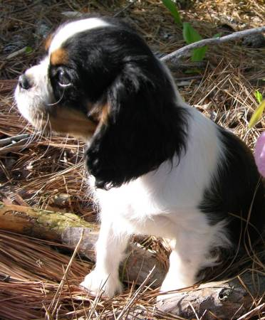 Cavalier King Charles Spaniel Dog Puppies