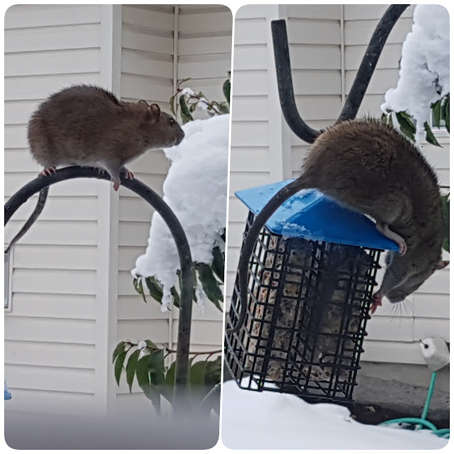 A plump Norway rat raids the bird feeder...