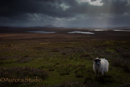 スコットランドの羊。アウターヘブリディーズ諸島