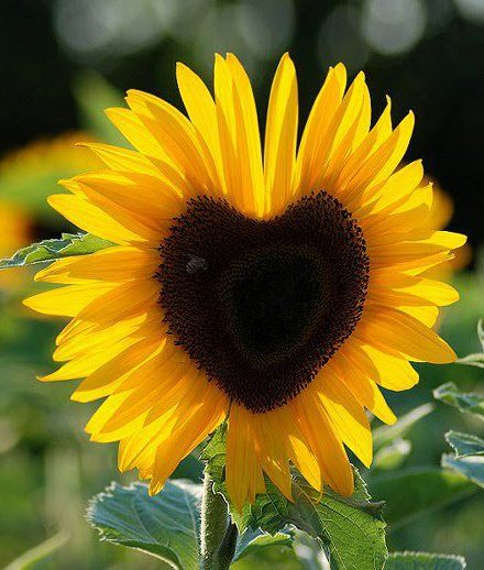 20 Fakta Menarik Bunga Matahari Yang Seru Untuk Dibaca