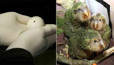 Pengembangbiakan burung kakapo agar tidak punah