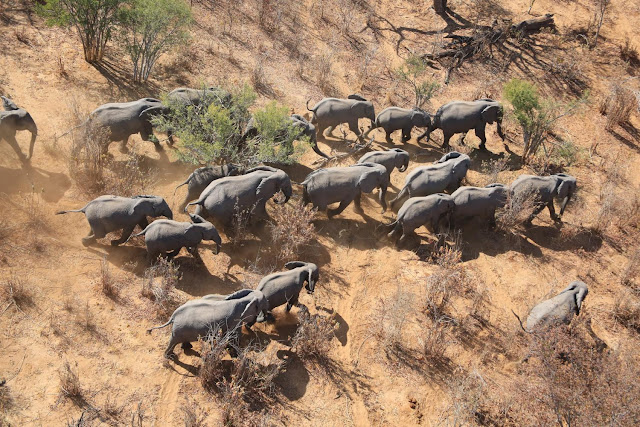 The Great Elephant Census reports massive loss of African savannah elephants