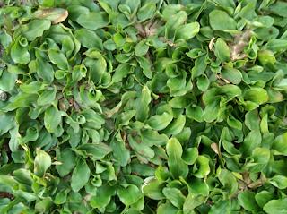 5 Jenis Rumput Taman Yang Cocok Untuk Rumah Bergaya Minimalis - Rumput Gajah Mini