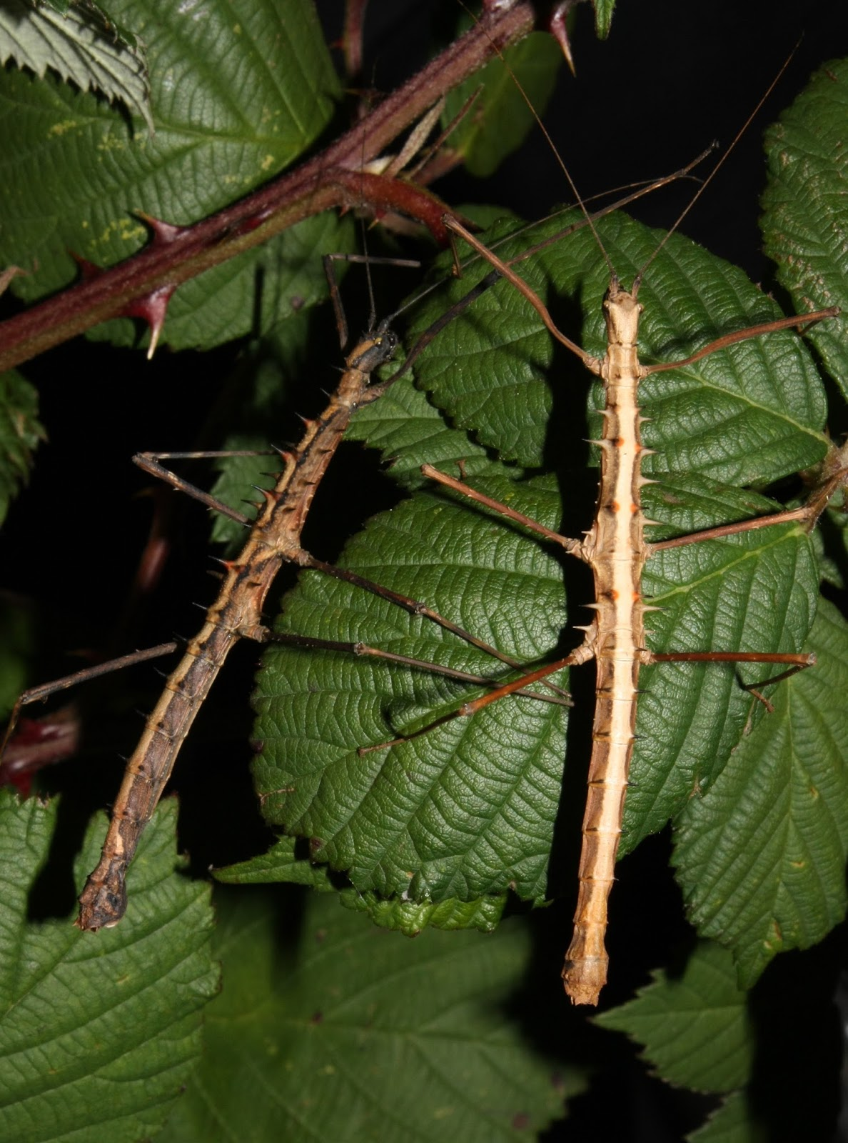Stick insects disguised as a twigs