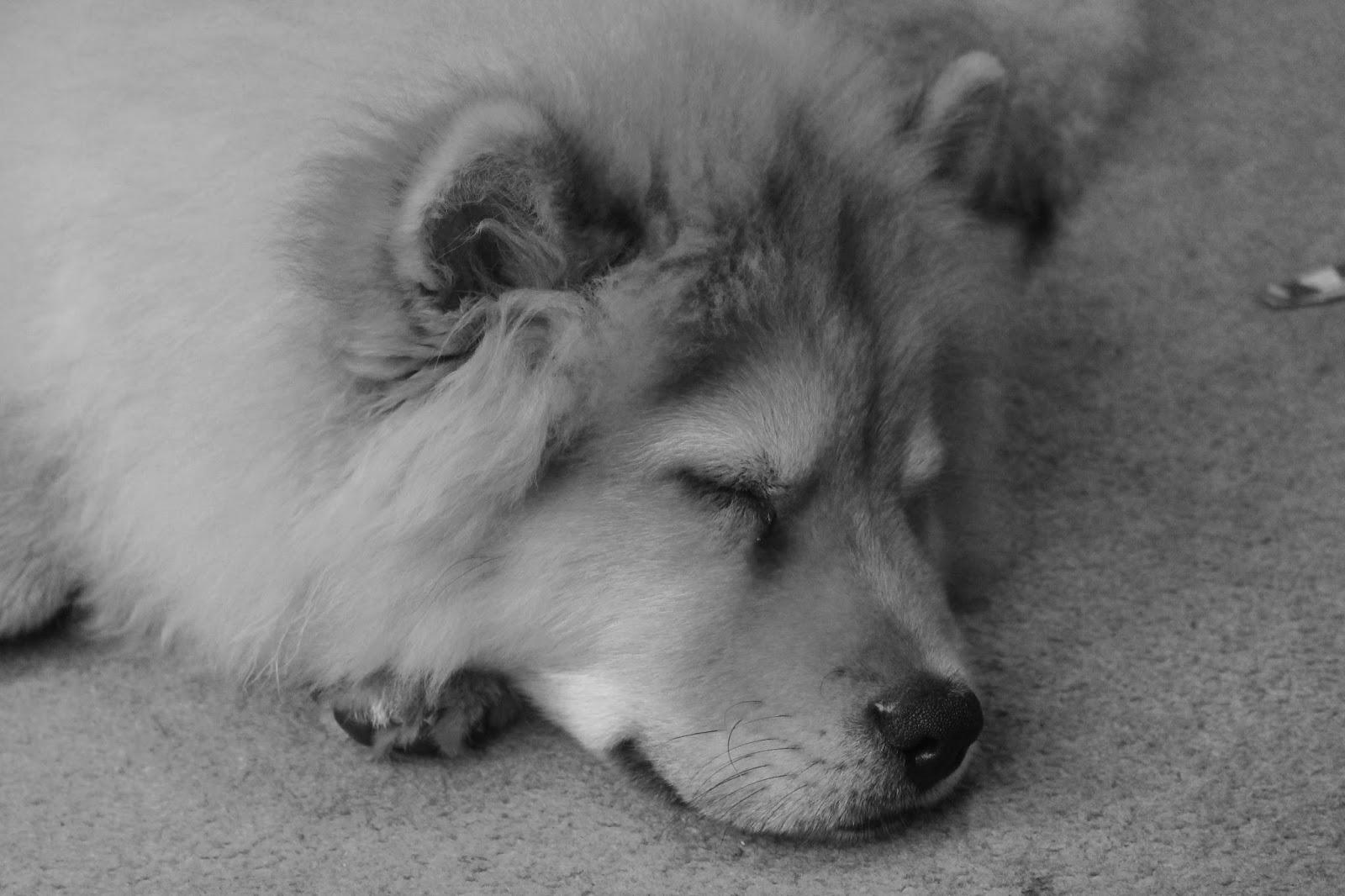 chowchow puppy UK Newcastle B+W