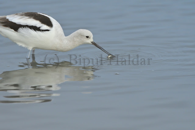 American Avocet caught Fish for Lunch
