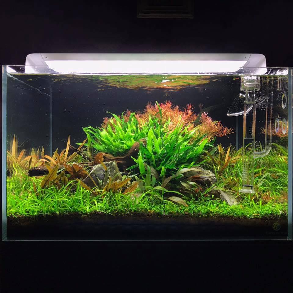 Cây cỏ thìa được trồng tiền cảnh trong hồ thủy sinh này