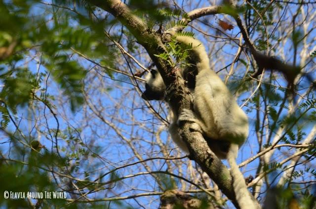 lemur blanco parque nacional tsingy de bemahara madagascar