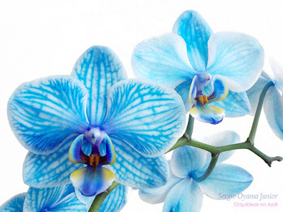 Orquídea azul colorida artificialmente