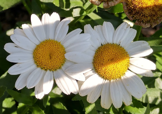 Daisies make any garden happier
