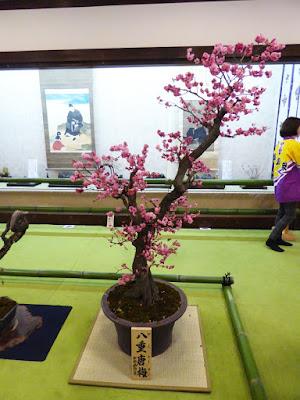 大阪天満宮・大盆梅展(盆梅と盆石展) 八重唐梅