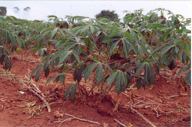 Mandioca (M. dulcis ou M. ahipi)