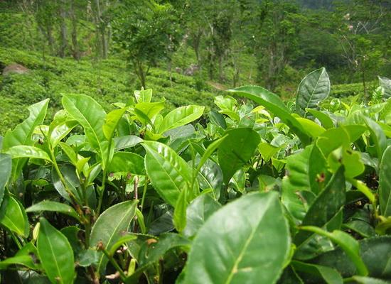Laporan Penelitian Sekuen Genom Pohon Teh Camellia sinensis Telah Terbit