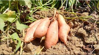 gambar buah ubi jalar
