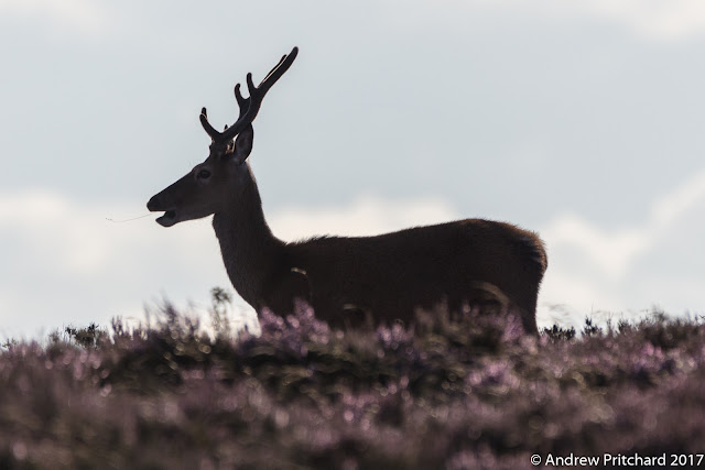 Young stag in stands in silhouette against a cloudy but bright sky on the heather covered moor.