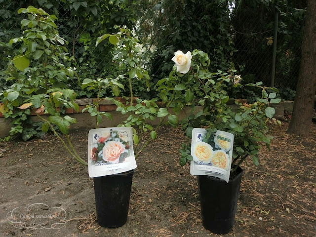 остинки, розы в саду, розарий, планирование клумб с розами