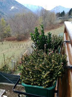 piante giardino montagna erica evonimo