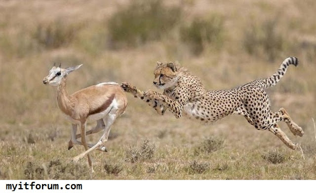 Informasi seputar cheetah